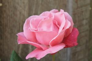 Rose Blütenessenzen
